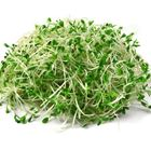 Picture of ALFALFA SPROUTS
